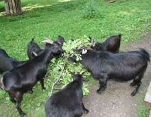 Kamerunské kozy v naší malé zoo